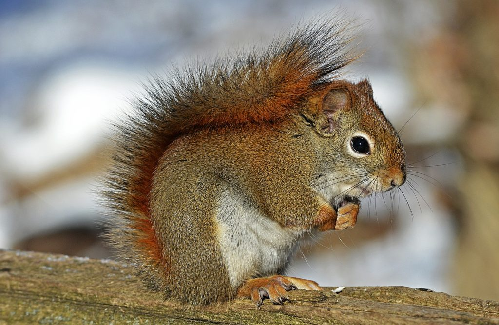 red-squirrel-570936_1920